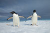 Two Adelie penguins, holding their wings out, standing on an iceberg. Paulet Island, Antarctic Peninsula, Antarctica. Image #25007
