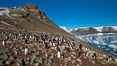 Adelie penguins at the nest, part of the large nesting colony of penguins that resides along the lower slopes of Devil Island. Devil Island, Antarctic Peninsula, Antarctica. Image #25013