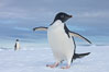 A curious Adelie penguin, standing at the edge of an iceberg, looks over the photographer. Paulet Island, Antarctic Peninsula, Antarctica. Image #25015