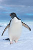 A curious Adelie penguin, standing at the edge of an iceberg, looks over the photographer. Paulet Island, Antarctic Peninsula, Antarctica. Image #25016