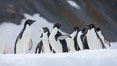 A group of Adelie penguins, on packed snow. Paulet Island, Antarctic Peninsula, Antarctica. Image #25019