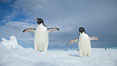 Two Adelie penguins, holding their wings out, standing on an iceberg. Paulet Island, Antarctic Peninsula, Antarctica
