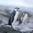 Chinstrap penguin. Shingle Cove, Coronation Island, South Orkney Islands, Southern Ocean. Image #25167
