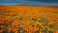 California poppies, wildflowers blooming in huge swaths of spring color in Antelope Valley. Lancaster, USA. Image #25223