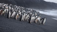 Chinstrap penguins at Bailey Head, Deception Island.  Chinstrap penguins enter and exit the surf on the black sand beach at Bailey Head on Deception Island.  Bailey Head is home to one of the largest colonies of chinstrap penguins in the world. Deception Island, Antarctic Peninsula, Antarctica. Image #25451