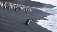 Chinstrap penguins at Bailey Head, Deception Island.  Chinstrap penguins enter and exit the surf on the black sand beach at Bailey Head on Deception Island.  Bailey Head is home to one of the largest colonies of chinstrap penguins in the world. Deception Island, Antarctic Peninsula, Antarctica. Image #25454