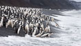 Chinstrap penguins at Bailey Head, Deception Island.  Chinstrap penguins enter and exit the surf on the black sand beach at Bailey Head on Deception Island.  Bailey Head is home to one of the largest colonies of chinstrap penguins in the world. Deception Island, Antarctic Peninsula, Antarctica. Image #25457