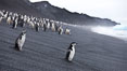 Chinstrap penguins at Bailey Head, Deception Island.  Chinstrap penguins enter and exit the surf on the black sand beach at Bailey Head on Deception Island.  Bailey Head is home to one of the largest colonies of chinstrap penguins in the world. Deception Island, Antarctic Peninsula, Antarctica. Image #25461
