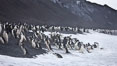 Chinstrap penguins at Bailey Head, Deception Island.  Chinstrap penguins enter and exit the surf on the black sand beach at Bailey Head on Deception Island.  Bailey Head is home to one of the largest colonies of chinstrap penguins in the world. Deception Island, Antarctic Peninsula, Antarctica. Image #25462