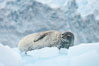 Weddell seal in Antarctica.  The Weddell seal reaches sizes of 3m and 600 kg, and feeds on a variety of fish, krill, squid, cephalopods, crustaceans and penguins. Cierva Cove, Antarctic Peninsula. Image #25520