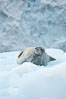 Weddell seal in Antarctica.  The Weddell seal reaches sizes of 3m and 600 kg, and feeds on a variety of fish, krill, squid, cephalopods, crustaceans and penguins. Cierva Cove, Antarctic Peninsula. Image #25521