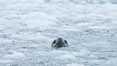 A leopard seal in Antarctica.  The leopard seal is a large predatory seal, up to 1300 lb and 11 ft in length, feeding on krill, squid, fish, various penguin species and other seabirds and occasionally, other pinnipeds. Cierva Cove, Antarctic Peninsula, Antarctica. Image #25524