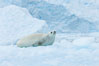 A crabeater seal, hauled out on pack ice to rest.  Crabeater seals reach 2m and 200kg in size, with females being slightly larger than males.  Crabeaters are the most abundant species of seal in the world, with as many as 75 million individuals.  Despite its name, 80% the crabeater seal's diet consists of Antarctic krill.  They have specially adapted teeth to strain the small krill from the water. Cierva Cove, Antarctic Peninsula, Antarctica. Image #25525
