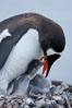 Gentoo penguin tending to its two chicks.  The nest is made of small stones. Cuverville Island, Antarctic Peninsula, Antarctica. Image #25551