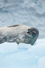 Weddell seal in Antarctica.  The Weddell seal reaches sizes of 3m and 600 kg, and feeds on a variety of fish, krill, squid, cephalopods, crustaceans and penguins. Cierva Cove, Antarctic Peninsula. Image #25566