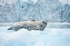 Weddell seal in Antarctica.  The Weddell seal reaches sizes of 3m and 600 kg, and feeds on a variety of fish, krill, squid, cephalopods, crustaceans and penguins. Cierva Cove, Antarctic Peninsula. Image #25567
