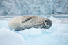 Weddell seal in Antarctica.  The Weddell seal reaches sizes of 3m and 600 kg, and feeds on a variety of fish, krill, squid, cephalopods, crustaceans and penguins. Cierva Cove, Antarctic Peninsula. Image #25568
