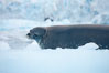Weddell seal in Antarctica.  The Weddell seal reaches sizes of 3m and 600 kg, and feeds on a variety of fish, krill, squid, cephalopods, crustaceans and penguins. Cierva Cove, Antarctic Peninsula. Image #25570