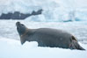 Weddell seal in Antarctica.  The Weddell seal reaches sizes of 3m and 600 kg, and feeds on a variety of fish, krill, squid, cephalopods, crustaceans and penguins. Cierva Cove, Antarctic Peninsula. Image #25571