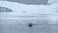A leopard seal in Antarctica.  The leopard seal is a large predatory seal, up to 1300 lb and 11 ft in length, feeding on krill, squid, fish, various penguin species and other seabirds and occasionally, other pinnipeds. Cierva Cove, Antarctic Peninsula, Antarctica. Image #25574