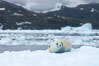 Crabeater seal resting on pack ice.  Crabeater seals reach 2m and 200kg in size, with females being slightly larger than males.  Crabeaters are the most abundant species of seal in the world, with as many as 75 million individuals.  Despite its name, 80% the crabeater seal's diet consists of Antarctic krill.  They have specially adapted teeth to strain the small krill from the water. Cierva Cove, Antarctic Peninsula, Antarctica. Image #25579