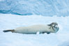 A crabeater seal, hauled out on pack ice to rest.  Crabeater seals reach 2m and 200kg in size, with females being slightly larger than males.  Crabeaters are the most abundant species of seal in the world, with as many as 75 million individuals.  Despite its name, 80% the crabeater seal's diet consists of Antarctic krill.  They have specially adapted teeth to strain the small krill from the water. Cierva Cove, Antarctic Peninsula, Antarctica. Image #25582