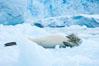 A crabeater seal, hauled out on pack ice to rest.  Crabeater seals reach 2m and 200kg in size, with females being slightly larger than males.  Crabeaters are the most abundant species of seal in the world, with as many as 75 million individuals.  Despite its name, 80% the crabeater seal's diet consists of Antarctic krill.  They have specially adapted teeth to strain the small krill from the water. Cierva Cove, Antarctic Peninsula, Antarctica. Image #25583