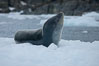 A leopard seal in Antarctica.  The leopard seal is a large predatory seal, up to 1300 lb and 11 ft in length, feeding on krill, squid, fish, various penguin species and other seabirds and occasionally, other pinnipeds. Cierva Cove, Antarctic Peninsula, Antarctica. Image #25592