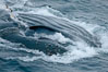 Humpback whale lunge feeding on Antarctic krill, with mouth open and baleen visible.  The humbpack's throat grooves are seen as its pleated throat becomes fully distended as the whale fills its mouth with krill and water.  The water will be pushed out, while the baleen strains and retains the small krill. Gerlache Strait, Antarctic Peninsula, Antarctica. Image #25648
