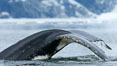 Humpback whale in Antarctica.  A humpback whale swims through the beautiful ice-filled waters of Neko Harbor, Antarctic Peninsula, Antarctica. Image #25651
