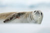 A crabeater seal, hauled out on pack ice to rest.  Crabeater seals reach 2m and 200kg in size, with females being slightly larger than males.  Crabeaters are the most abundant species of seal in the world, with as many as 75 million individuals.  Despite its name, 80% the crabeater seal's diet consists of Antarctic krill.  They have specially adapted teeth to strain the small krill from the water. Neko Harbor, Antarctic Peninsula, Antarctica. Image #25665