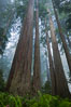Giant redwood, Lady Bird Johnson Grove, Redwood National Park.  The coastal redwood, or simply 'redwood', is the tallest tree on Earth, reaching a height of 379' and living 3500 years or more.  It is native to coastal California and the southwestern corner of Oregon within the United States, but most concentrated in Redwood National and State Parks in Northern California, found close to the coast where moisture and soil conditions can support its unique size and growth requirements. Redwood National Park, California, USA. Image #25795