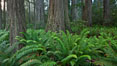 Ferns grow below coastal redwood and Douglas Fir trees, Lady Bird Johnson Grove, Redwood National Park.  The coastal redwood, or simply 'redwood', is the tallest tree on Earth, reaching a height of 379' and living 3500 years or more.  It is native to coastal California and the southwestern corner of Oregon within the United States, but most concentrated in Redwood National and State Parks in Northern California, found close to the coast where moisture and soil conditions can support its unique size and growth requirements. Redwood National Park, California, USA. Image #25796