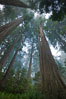 Giant redwood, Lady Bird Johnson Grove, Redwood National Park.  The coastal redwood, or simply 'redwood', is the tallest tree on Earth, reaching a height of 379' and living 3500 years or more.  It is native to coastal California and the southwestern corner of Oregon within the United States, but most concentrated in Redwood National and State Parks in Northern California, found close to the coast where moisture and soil conditions can support its unique size and growth requirements. Redwood National Park, California, USA. Image #25805