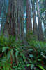Giant redwood, Lady Bird Johnson Grove, Redwood National Park.  The coastal redwood, or simply 'redwood', is the tallest tree on Earth, reaching a height of 379' and living 3500 years or more.  It is native to coastal California and the southwestern corner of Oregon within the United States, but most concentrated in Redwood National and State Parks in Northern California, found close to the coast where moisture and soil conditions can support its unique size and growth requirements. Redwood National Park, California, USA. Image #25806