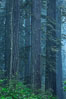 Giant redwood, Lady Bird Johnson Grove, Redwood National Park.  The coastal redwood, or simply 'redwood', is the tallest tree on Earth, reaching a height of 379' and living 3500 years or more.  It is native to coastal California and the southwestern corner of Oregon within the United States, but most concentrated in Redwood National and State Parks in Northern California, found close to the coast where moisture and soil conditions can support its unique size and growth requirements. Redwood National Park, California, USA. Image #25809