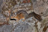 Chipmunk. Oregon Caves National Monument, Oregon, USA. Image #25871