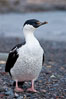Imperial shag, or blue-eyed shag. Livingston Island, Antarctic Peninsula, Antarctica. Image #25933