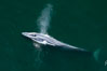 Blue whale, exhaling as it surfaces from a dive, aerial photo.  The blue whale is the largest animal ever to have lived on Earth, exceeding 100' in length and 200 tons in weight. Redondo Beach, California, USA. Image #25951