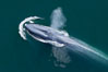 Blue whale, exhaling as it surfaces from a dive, aerial photo.  The blue whale is the largest animal ever to have lived on Earth, exceeding 100' in length and 200 tons in weight. Redondo Beach, California, USA. Image #25953