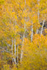 Fall colors and turning aspens, eastern Sierra Nevada. Bishop Creek Canyon Sierra Nevada Mountains, California, USA. Image #26066