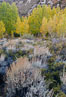 Sage brush and aspen trees, autumn, in the shade of Bishop Creek Canyon in the Sierra Nevada. Bishop Creek Canyon Sierra Nevada Mountains, Bishop, California, USA. Image #26067
