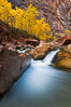 The Virgin River flows by autumn cottonwood trees, part of the Virgin River Narrows.  This is a fantastic hike in fall with the comfortable temperatures, beautiful fall colors and light crowds. Virgin River Narrows, Zion National Park, Utah, USA. Image #26096