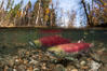 A sockeye salmon swims in the shallows of the Adams River, with the surrounding forest visible in this split-level over-under photograph. Adams River, Roderick Haig-Brown Provincial Park, British Columbia, Canada. Image #26144
