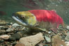 Adams River sockeye salmon.  A female sockeye salmon swims upstream in the Adams River to spawn, having traveled hundreds of miles upstream from the ocean. Adams River, Roderick Haig-Brown Provincial Park, British Columbia, Canada. Image #26145