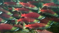A school of sockeye salmon, swimming up the Adams River to spawn, where they will lay eggs and die. Adams River, Roderick Haig-Brown Provincial Park, British Columbia, Canada. Image #26146