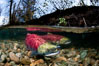 A sockeye salmon swims in the shallows of the Adams River, with the surrounding forest visible in this split-level over-under photograph. Adams River, Roderick Haig-Brown Provincial Park, British Columbia, Canada. Image #26148