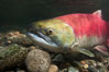 Adams River sockeye salmon.  A female sockeye salmon swims upstream in the Adams River to spawn, having traveled hundreds of miles upstream from the ocean. Adams River, Roderick Haig-Brown Provincial Park, British Columbia, Canada. Image #26157
