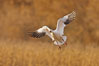Snow goose in flight. Bosque Del Apache, Socorro, New Mexico, USA. Image #26199
