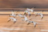 Snow geese in flight, wings are blurred in long time exposure as they are flying. Bosque Del Apache, Socorro, New Mexico, USA. Image #26211
